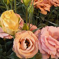 Rosita 2 Apricot