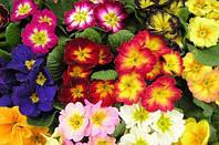 Примула садовая мих расцветок (5кустов)