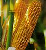 Семена кукурузы НС-205