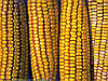 Семена кукурузы НС-205, фото 5