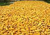 Семена кукурузы НС-2040, фото 5