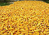 Семена кукурузы НС-2014, фото 4