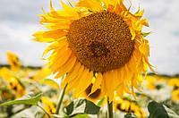 Семена подсолнечника гибрид Ясон - F1