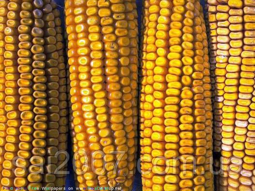 Семена кукурузы НС-2016