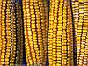 Семена кукурузы НС-444, фото 5