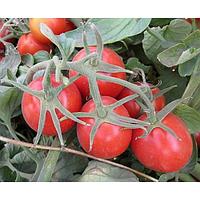 2040 F1 - семена томата детерминантного, 10 000 семян, Lark Seed, фото 1