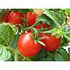 2280 F1 - семена томата детерминантного, 10 000 семян, Lark Seed