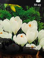 Крокус Крупноцветковый Jeanne d ´Ark