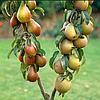 Саженцы груши сорт Осенняя (колоновидная)
