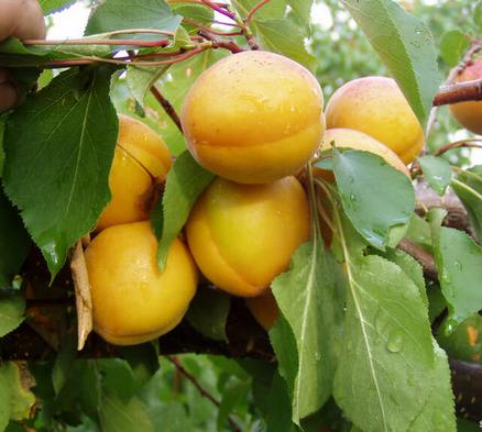 Саженцы абрикоса сорт Сатисфекшн