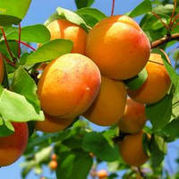 Саженцы абрикоса сорт Надежда