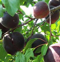 Саженцы абрикоса сорт Черный Бархат