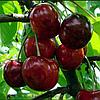 Саженцы черешни сорт Василиса