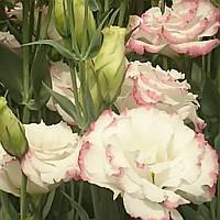 Aube Pink Picotee