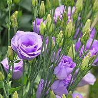 Croma Lavender