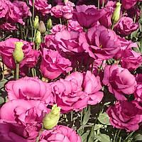 Papillon/Sunprise Rose Pink
