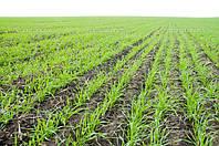 Защита озимых осенью - гарантия успешной перезимовки и высокого урожая