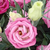 Rosita 3 Pink Flash