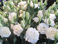 Rosita 4 Pure White