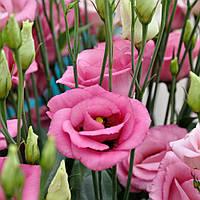 Rosita 4 Rose Pink