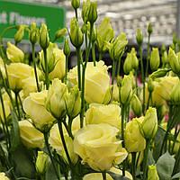 Rosita 4 Yellow