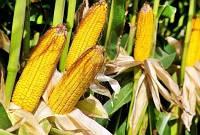 ДКС-3511, Monsanto