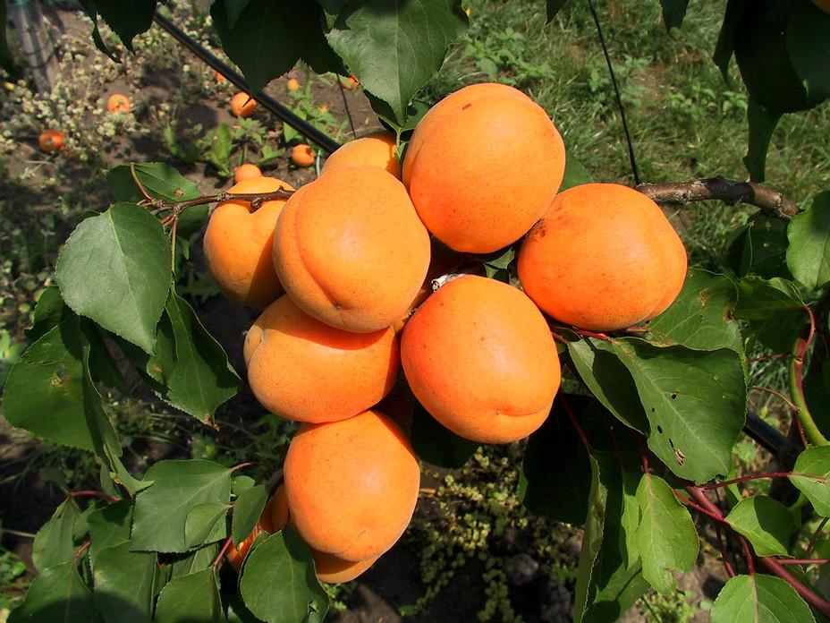 "Саджанець абрикоса ""Харгранд"""
