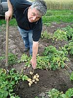 Картофель семенной ранний Ривьера