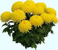 Рассада хризантемы горшечной крупноцветковой