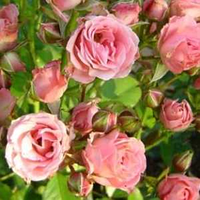 "Роза бордюрная ""Лидия"" светло-розовая (Лідія)"
