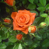 "Саженцы роз ""Аллегрия"", фото 1"