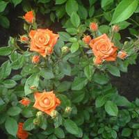"""Саженцы роз """"Эльдорадо"""", фото 1"""
