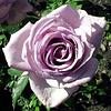 "Саженцы Роз ""Индиголетта"" нежно-фиолетовая (Индиголета, Індіголетта)"