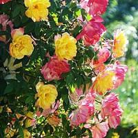 Саженцы роз Полька бабочка