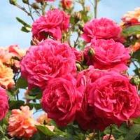Саженцы роз Лагуна