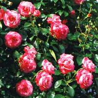 Саженцы роз Росанна