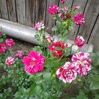 Саженцы роз Твист