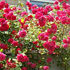 Саженцы роз Фламментанц