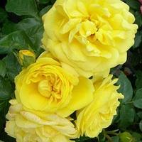 """Саженцы роз """"Гольдштерн"""" (""""Голдштерн""""), фото 1"""
