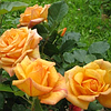 Саженцы роз Мишка