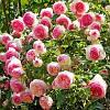 Саженцы роз Пьер де Ронсар