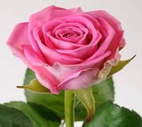 """Саженцы роз """"Аква"""", фото 1"""