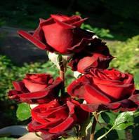 "Саженцы роз ""Блек Меджик"" (""Блэк Меджик""), фото 1"