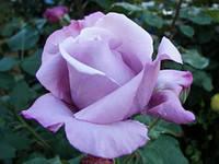 "Саженцы роз ""Голубой Нил"""