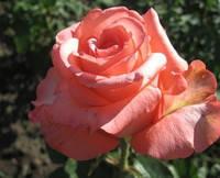 """Саженцы роз """"Нобилис"""""""