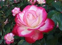 Саженцы роз Принц де Монако