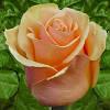 Саженцы роз Примадонна