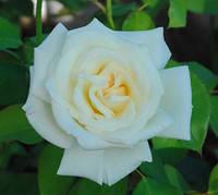 Саженцы роз Паскаль