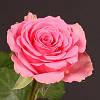 Саженцы роз Свинг