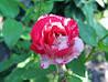 Саженцы роз Сатина